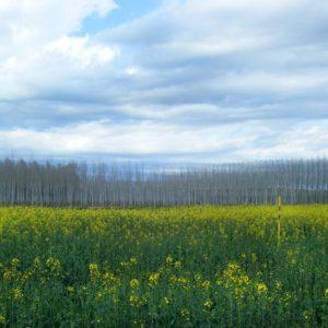 Núria Planells - Camp groc